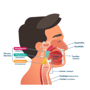Querschnitt des Kopf-Hals-Bereichs