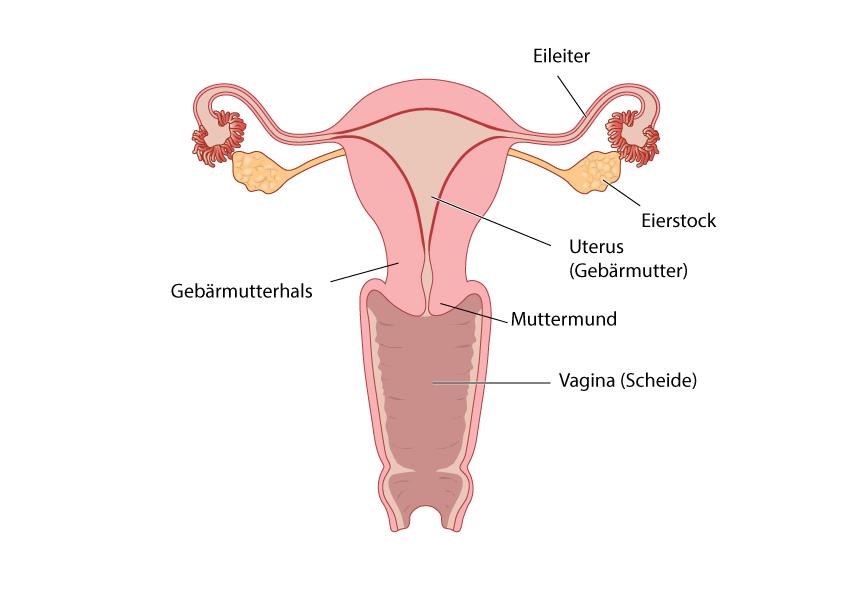 Gebärmutter/Uterus Eierstockkrebs
