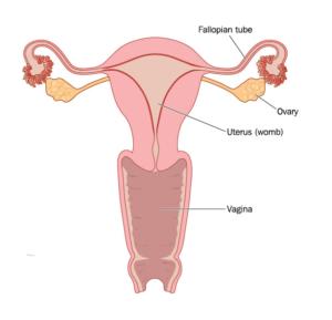 Uterus Womb